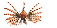 Lion Fish by Tim Flach #lionfish #fish #animal #photography