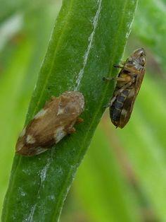 http://faaxaal.forumgratuit.ca/t913-photos-d-insectes-cicadelle-ecumeuse-cercope-spumeux-philene-spumeuse-philaenus-leucophthalmus-philaenus-spumarius-meadow-spittlebug