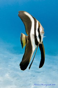 Platax teira, also known as the teira batfish, longfin batfish, longfin spadefish, or round faced batfish is a fish from the Indo-West Pacific. It occasionally makes its way into the aquarium trade. It grows to a size of 60 cm (24 in) in length.