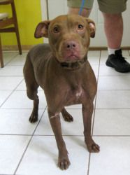 Penny is an adoptable Pit Bull Terrier Dog in Cranford, NJ. Penny was rescued from a kill shelter just in time. She is a very gentle and sweet 18 month old in need of a home. She's currently in a boar...