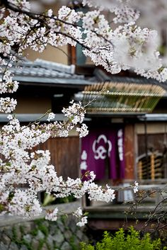 GoBoiano - 35 Iconic Sights You Can Only See in Kyoto Japan Japan Sakura, Kyoto Japan, Geisha, Beautiful World, Beautiful Places, Sakura Cherry Blossom, Cherry Blossoms, All About Japan, Culture Art