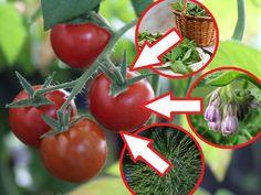 ekologiczne opryski na pomidory