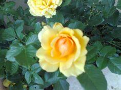 Prince Eugen rose