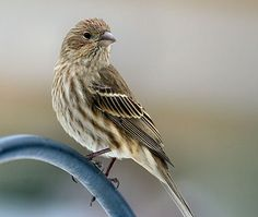 Female House Finch. Adult males are rosy red around the face and upper breast, with streaky brown back, belly and tail. In flight, the red rump is conspicuous. Adult females aren't red; they are plain grayish-brown with thick, blurry streaks and an indistinctly marked face.