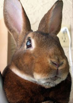 This sweet Rex face reminds me of my Porter though he was mink grey. Their mouths make me think of grumpy old men but boy are they sweet. I also lost Jasmine and Zeus (dwarf Rex) at ripe old ages. Rex Rabbit, House Rabbit, Rabbit Art, Funny Bunnies, Baby Bunnies, Bunny Rabbits, Easter Bunny, Hunny Bunny, Cute Bunny