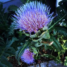 Artichokes in bloom, an electric curbside weed in Portland, Oregon off Mississippi Street.