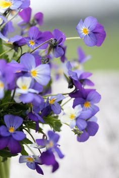 An understated photo of some lovely violas..