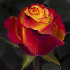 Rose 'High Magic Yellow Flame'