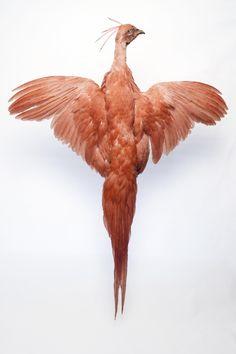 Taxidermy bird. Phoenix.