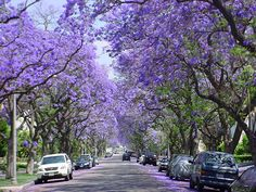 SPRING: The jacarandas of Buenos AIres make spring (Nov-Dec) a fabulous sight. The streets and parks are carpeted in purple, and because there is little wind the flowers last longer than in other countries. See more photos at http://www.batravelguide.com/2012/11/november-in-buenos-aires-jacaranda-time.html