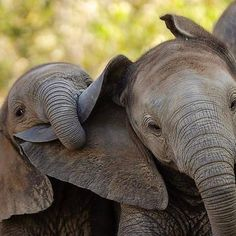 🐘🐘🐘 Credit 📷 Unknown Tag someone that should see this👇 Elephants Photos, Save The Elephants, Cute Elephant Pictures, Indian Elephant, Elephant Love, Cute Baby Animals, Funny Animals, Animal Babies, Elephant Facts