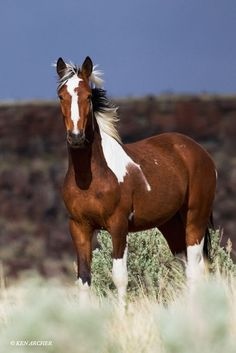 Wild Horse by Ken Archer Mustang cheval sauvage Majestic Horse, Majestic Animals, Horse Photos, Horse Pictures, Most Beautiful Animals, Beautiful Horses, Beautiful Gorgeous, Wilde Mustangs, Cheval Pie