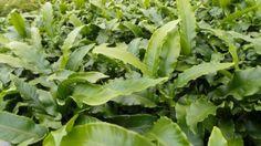 Ferns, shade, planting, fronds, gardens, woods