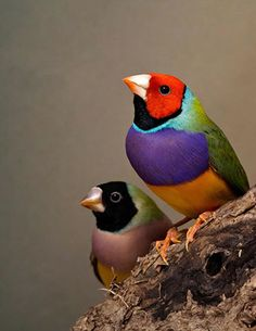 Australian Lady Gouldian Finch.   I have 2 - Bandit (black mask) and Cowboy (orange mask)   Their songs are BEAUTIFUL!
