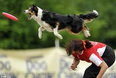 Dog Agility A border collie jumps to catch a frisbee during the Skyhoundz Disc Dog European Championship competition - Pictures: Skyhoundz frisbee dog champs Agility Training For Dogs, Dog Agility, Dog Training Tips, Jumping Dog, Flying Dog, Expensive Dogs, Animal Action, Tier Fotos, Dog Hacks