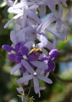 Honey Bee on Tree Orchid Blossoms; environment, Flowers, honey bee, insect, nature, pollen, pollenization, tree orchid, wildlife