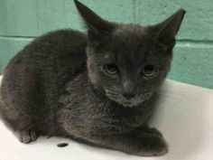 Jerrie is a truly handsome kitten who will most likely do best in an experienced…
