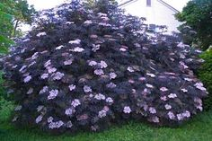 """*NOTE: Will not get this big in MN. """"Regular, aggressive pruning will keep this shrub compact and full. Plant in full sun for best color and fullness"""" Purple Flowering Plants, Foliage Plants, Garden Shrubs, Garden Plants, Backyard Plants, Sambucus Nigra Black Lace, Black Lace Elderberry, Elderberry Shrub, Deer Resistant Garden"""