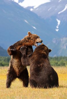 "creatures-alive: ""Brown Bears - Katmai - Alaska by Scott Cromwell) "" Beautiful Creatures, Animals Beautiful, Cute Animals, Baby Animals, Baby Pandas, Ours Grizzly, Grizzly Bears, Urso Bear, In Natura"