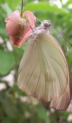 Beautiful Pink Butterfly or moth on a pink bleeding heart bloom Beautiful Bugs, Beautiful Butterflies, Amazing Nature, Beautiful Things, Beautiful Pictures, Beautiful Creatures, Animals Beautiful, Cute Animals, The Magic Faraway Tree