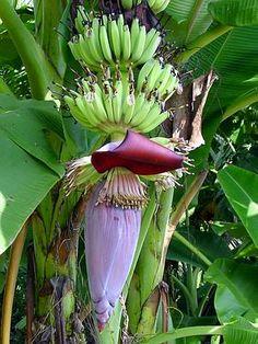 Banana - World Crops Database - Tropical fruits Tropical Fruits, Tropical Plants, Musa Banana, Rainforest Theme, Importance Of Food, Banana Flower, Banana Plants, Blooming Plants, Outdoor Planters