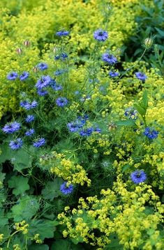 nigella damascena (love-in-a-mist) alchemilla mollis (ladys mantle). bed with combination planting of blue yellow/green flowers / NHPA) - My Cottage Garden Alchemilla Mollis, Cottage Garden Plants, Garden Borders, Colorful Garden, Green Flowers, Shade Garden, Dream Garden, Garden Projects, Garden Inspiration