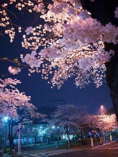 Sakura Cherry Blossom Tree, i love the late time days in japanese streets and culture! its my life! Scenery Wallpaper, Nature Wallpaper, Cherry Blossom Japan, Cherry Blossoms, Beautiful Flowers, Beautiful Pictures, Flowers Nature, Blossom Trees, Amazing Nature
