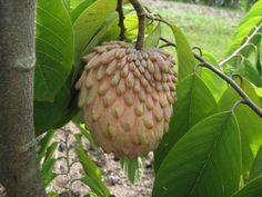 Atemoya is a hybrid of Sugar apple (Annona squamosa) and Cherimoya (Annona cherimoya) which are both native to the American tropics