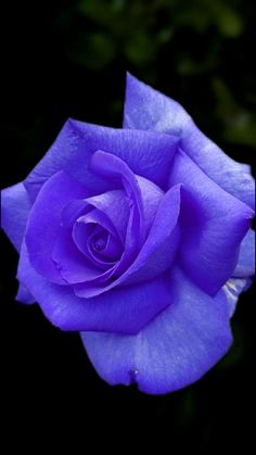 Beautiful Rose Flowers, Love Flowers, Most Beautiful, Rose Photos, Morning Greeting, Purple Roses, Plants, Beauty, Blue Roses
