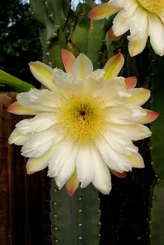 Giant Cactus Bloom