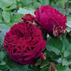 rose Falstaff (shrub)