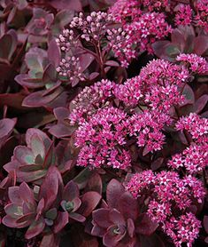 Firecracker Sedum has ruby foliage with hot pink flower clusters. The Sedum blooms over the Summer. Grows in zones 4 to 9 in full Sun. Reaches 4 to 6 inches tall. Attracts butterflies. A low growing perennial, is deer and rabbit resistant. Tolerant of drought and poor soil conditions. Plant as a groundcover, an edger, and in containers. Sizzling color for hot, dry garden areas.