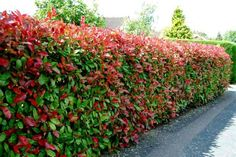 Photinia RED ROBIN  3m x 2m fast growing shrub with bright red new growth, full sun or part shade. Ideal as a hedge, small tree, pots in courtyards and balconies. Spacing 75cm apart for dense hedge