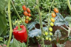 Pepper Plant Companions: What Are Good Companions For  -  Growing peppers? You'll be glad to know that there are many pepper plant companions that can benefit your peppers. Find out about pepper companion planting and plants that like to grow with peppers in this article. Click here.