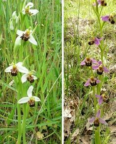 Ophrys apifera  M.Nerone - Marche