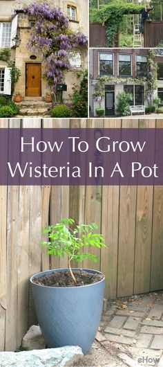By planting wisteria in a contained planter, you can grow and train these beautiful flowering vines without making a permanent mark in the ground. Best known as plant covers to offer shade and visual interest around arbors or pergolas, potted wisteria is great for small spaces, rentals, urban spaces or general decorative appeal. http://www.ehow.com/how_8091558_grow-wisteria-pot.html?utm_source=pinterest.com&utm_medium=referral&utm_content=freestyle&utm_campaign=fanpage