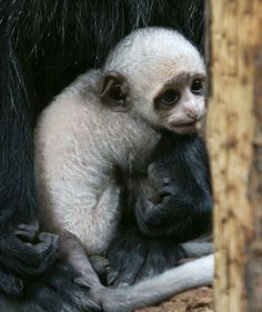 Tiny King Born at Paignton Zoo_    There's been a royal birth at Paignton Zoo!  A King Colobus Monkey was born on October 3.