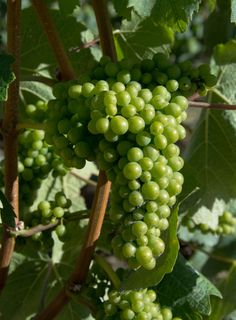 #gibbstonvalley #grapes This is what makes our #wine