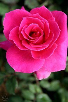Hasil Gambar Untuk Bunga Mawar Deviant Art Deviant Art Roses