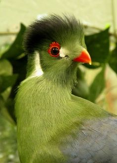 White cheeked turaco. The white-cheeked turaco (Tauraco leucotis) is a species of bird in the Musophagidae family. It is found in Eritrea, Ethiopia, and South Sudan.