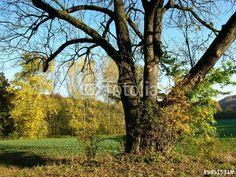 Alter Baum auf freiem Feld im Teutoburger Wald zwischen Asemissen und Oerlinghausen in OWL