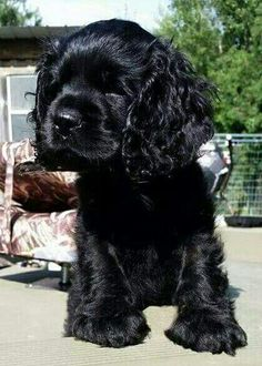 A list of the cutest black cocker spaniel pictures. Are you in the mood to see some adorable photos of black cocker spaniels? This is a list of some of the cutest black cocker spaniel photos. Black Cocker Spaniel Puppies, Perro Cocker Spaniel, American Cocker Spaniel, English Cocker Spaniel, Clumber Spaniel, Cavapoo Puppies, Cockapoo, Cute Puppies, Cute Dogs