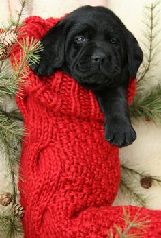 Lab puppy in a stocking! rescued pups are the best, but please make sure they really want a dog before you gift one! Too many pups are returned right after Christmas, not a good thing :(