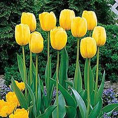 Tulips: Quality Dutch tulip bulbs for your American garden – all from Breck