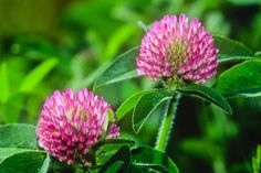 Red Clover - What Is Red Clover Used For?