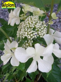 Hydrangea pan. 'Levana', Hortensia. Blommar vitt på hösten.   Stora hanblommor.  Starkt upprättväxande, kraftiga stammar.  Höjd: 1-1,5 m.  Surjordsväxt pH 4-5.  Zon: III?