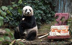 Najstaršia panda na svete oslávila narodeniny. Gratulujeme! Celý článok nájdete na našom webe.  #panda #narodeniny #birthday #oldest #rekord #record #animal