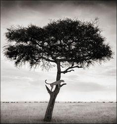Nick Brandt Cheetah in Tree, Masai Mara, 2003