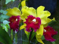 Orchid xLaeliocattleya g.Isabelle Pring (photo taken by Heather Robinson)