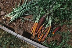 """Throwing it back to when it was carrot and scallion harvesting day. Check out those beautiful Carnival Blend carrots grown from @botanical_interests seeds. Can't wait to grow them again this year!💚👩🏻‍🌾🥕 #scallions #carrots #carnivalblend #botanicalinterests #gardening #organic #harvest #grow #garden #vegetables #tbt #throwbackthursday #throwback"" - theheirloomlady (Instagram)"